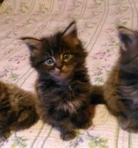 Мейн-кун котята продаю частник