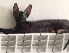 Котёнок Корниш- рекс.
