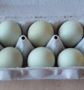 Инкубационные яица (амераукана )