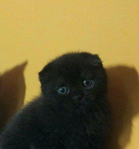 Чёрная вислоухая кошечка