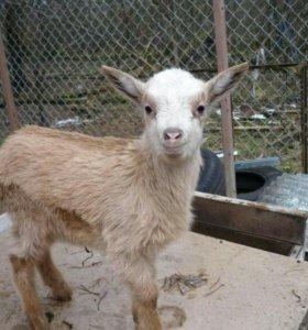50% чешские козлят