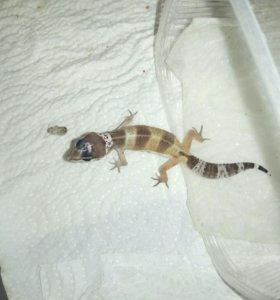 Эублефар, леопардовый геккон