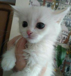 котята бесплатно. белые и пушистые))