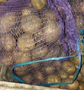 Продам картофель недорого 200 рублей ведро 10 л