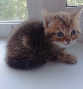 Британские котята)