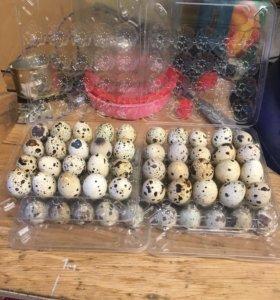 Яйцо перепела в лотке 20шт.