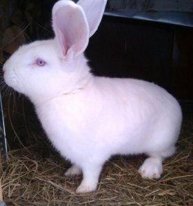 Кролики белый великан, НЗБ