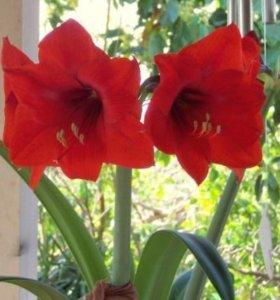 Продам цветок гипеарис