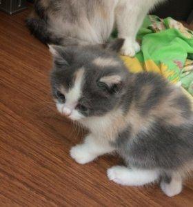 Трёхцветные котята.  Бесплатно