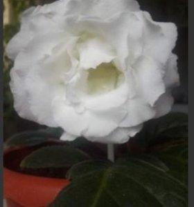 Глоксиния сортовая Persian