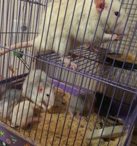 Продам крысят ❤️