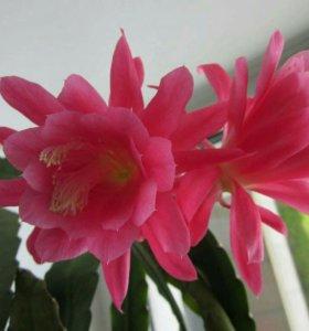 Эпифиллум розовый