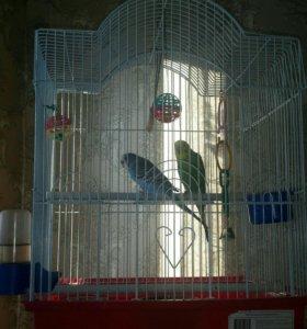 Продам 2х волнистых попугая с клеткой