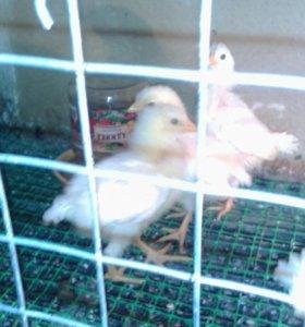 Цыплята леггорн