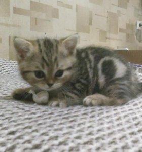 Шотландский котёнок ищет хозяев