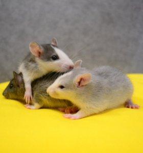 Ручные крысята Хаски.