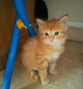 Кошечка мейн кун.1 месяц.