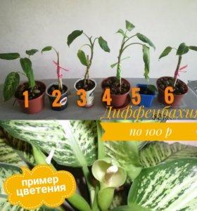 Диффенбахия - комнатный цветок