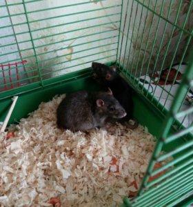 Крыски декоративные