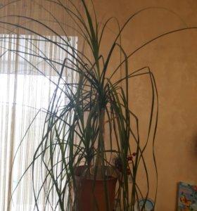 Бокарнея(нолина 21 год)-декоративное экзо растение