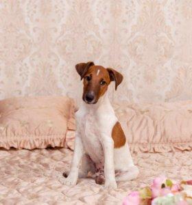 Продам щенков фокстерьера гладкошерстного