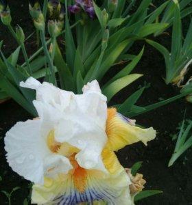 Продаю цветы ирисы и много другого
