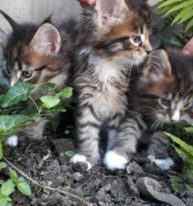 Котята Мейн-кунята с отличной родословной