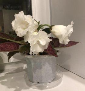 Глоксиния белая цветёт