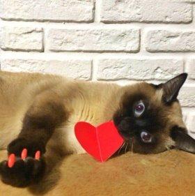 Тайский чистокровный кот на вязку