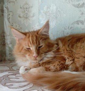 Котёнок Мейн Кун