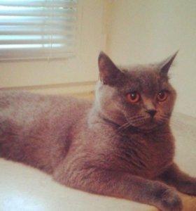 Британская кошка (окрас голубой)