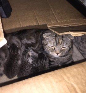 Котята  чёрный мраморный табби