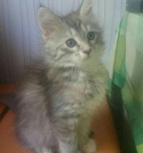 Котята Мейн-Кун (девочки)СРОЧНО!