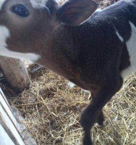 Срочно продам телок и корову