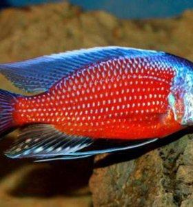 Аквариумные рыбки(цихлиды)