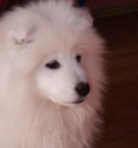 Щенки самоедской собаки