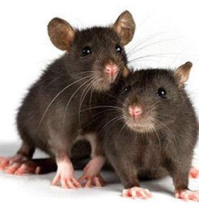 Две крысы декоративные