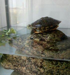 Черепаха земноводная, аквариум 20л, террариум
