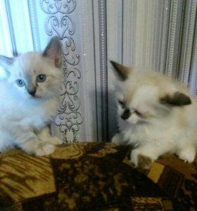 Котята сиамки
