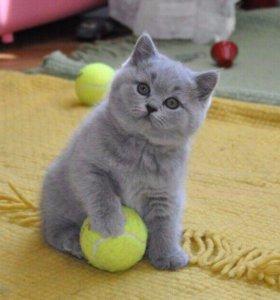 Британские толстощекие котята