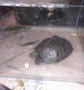 Черепаха краснаухая
