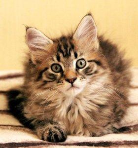 милые котята мейн куны