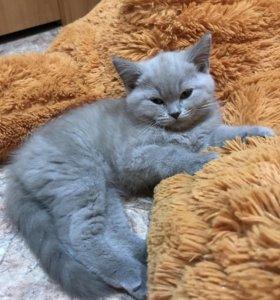Котенок породы шотландская вислоухая. Страйт.