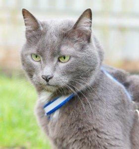 Русский голубой кот!