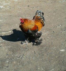 Яйцо породистых кур
