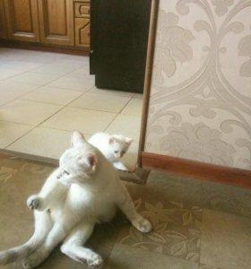 Котенок тайской кошки, мальчик