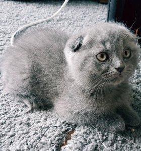 Котенок шотландец вислоухий
