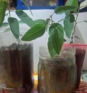 Эвкалипт( комнатный) лимонный