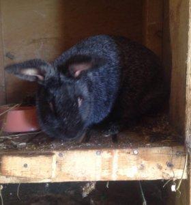 Кролики , Полтавское Серебро!