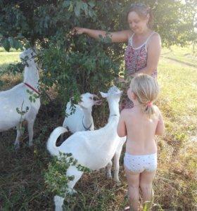Зааненские дойные козы